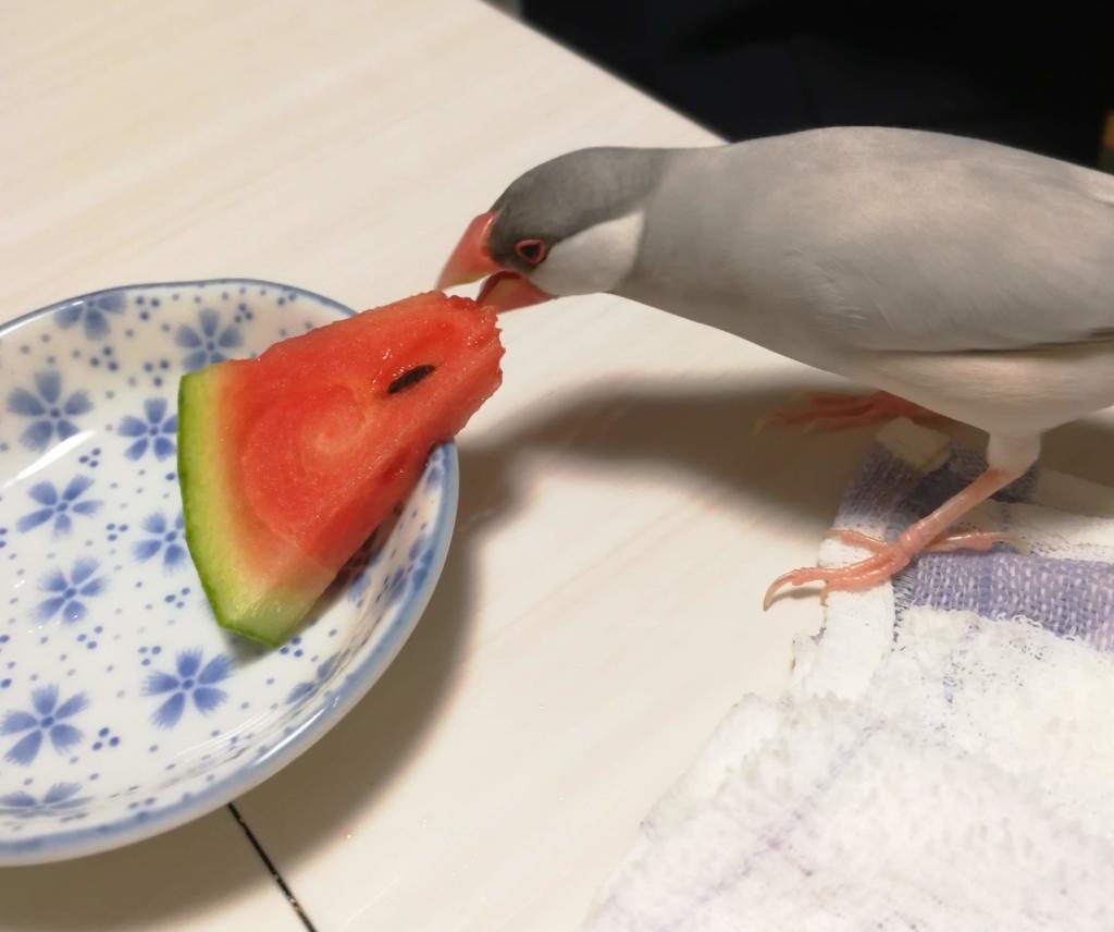 スイカを食べる文鳥
